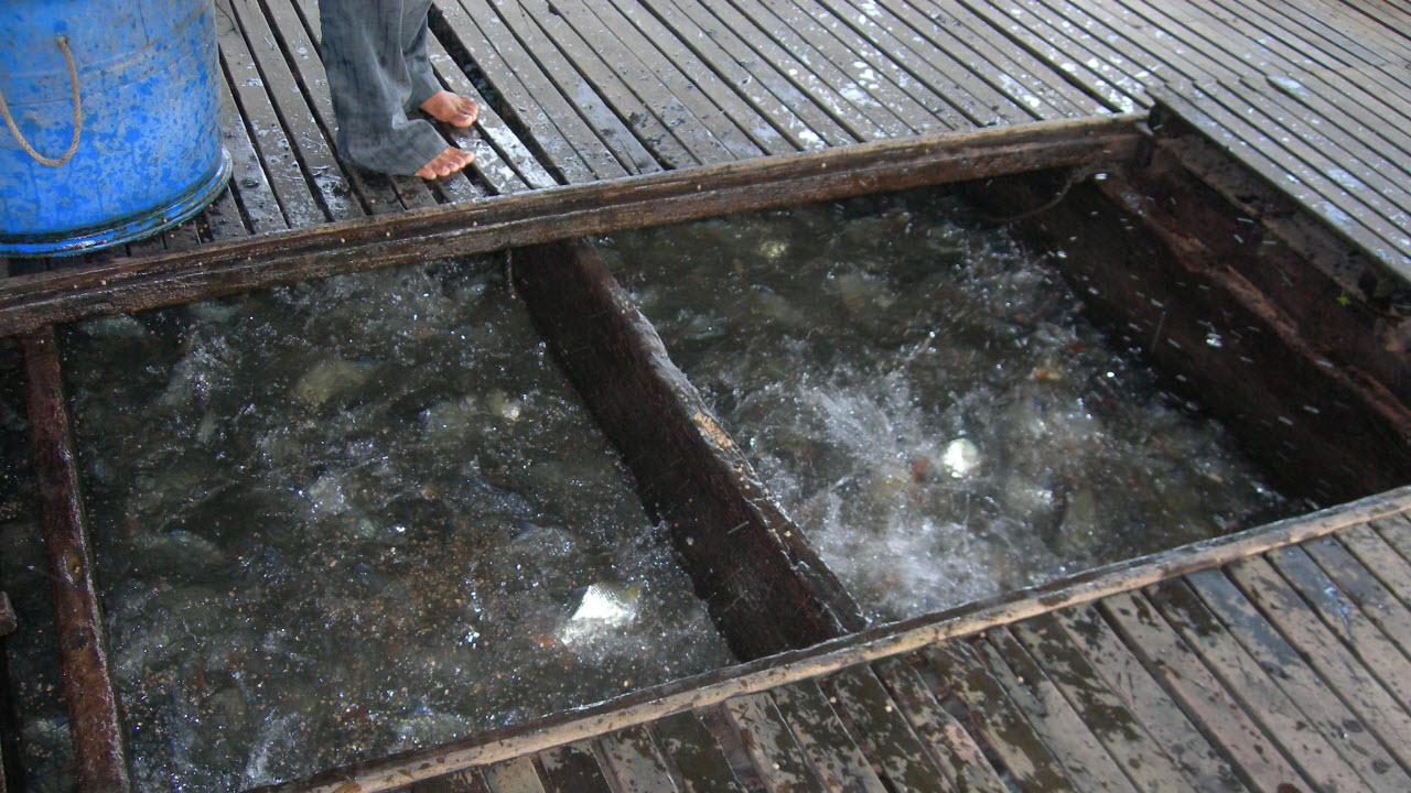 Mekong delta tours 3 days - Cat fish farm in Chaudoc