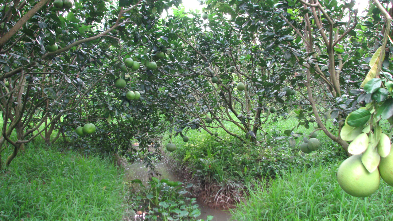 Mekong delta tours - CanTho fruit orchard