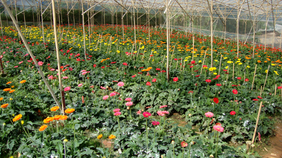 A Gerbera garden (Asteraceae) in DaLat - central highlands